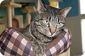 American Shorthair Cat for adoption in Jackson, Mississippi - Savannah