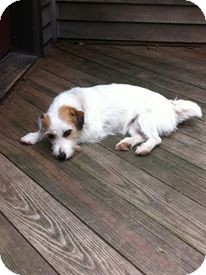 Jack Russell Terrier Dog for adoption in Youngstown, Ohio - Ellie