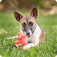 Adopt A Pet :: Joey- local! - East Hartford, CT