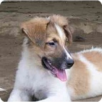 Adopt A Pet :: Laddie - Albany, NY