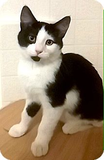 Domestic Shorthair Kitten for adoption in Riverside, California - Shizuko