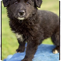 Adopt A Pet :: Hershey (POM) - Brattleboro, VT