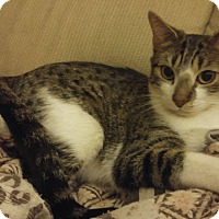 Domestic Shorthair Cat for adoption in Whiting, Indiana - Mia