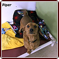 Adopt A Pet :: Piper - New Richmond,, WI
