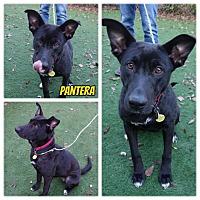 Adopt A Pet :: Pantera - Sacramento, CA