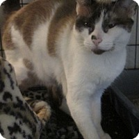Adopt A Pet :: Sophia - Gilbert, AZ