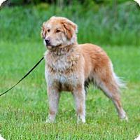 Adopt A Pet :: Harley - Lebanon, MO