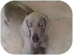 Weimaraner Dog for adoption in Eustis, Florida - Romeo  **ADOPTED**