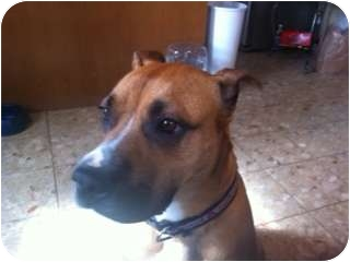 Boxer/Great Dane Mix Dog for adoption in Harrisburgh, Pennsylvania - Molly - URGENT