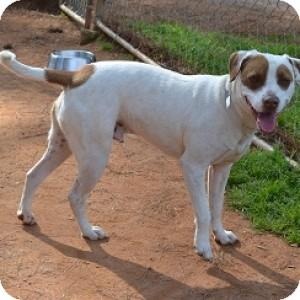 American Bulldog/Labrador Retriever Mix Dog for adoption in Athens, Georgia - Alabama