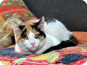 American Shorthair Cat for adoption in Brooklyn, New York - Cali