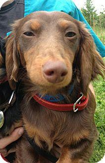 Dachshund Mix Dog for adoption in Waldorf, Maryland - Caleb #442