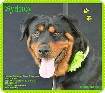 Rottweiler Dog for adoption in Plano, Texas - Sydney