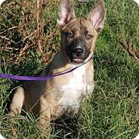 Adopt A Pet :: Angus - Milford, CT