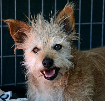 Cairn Terrier/Corgi Mix Dog for adoption in Acton, California - Cooper