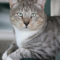 Domestic Shorthair Cat for adoption in North Fort Myers, Florida - Hemi