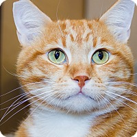 Adopt A Pet :: Gingersnap - Irvine, CA