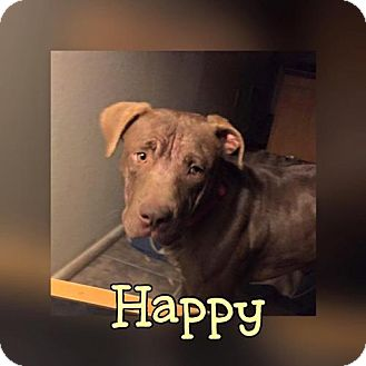 Labrador Retriever Mix Dog for adoption in Phoenix, Arizona - Happy