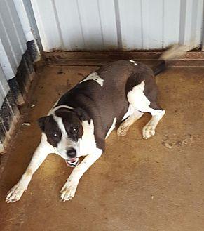 Border Collie/Labrador Retriever Mix Dog for adoption in San antonio, Texas - Tika