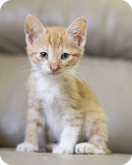 Domestic Shorthair Kitten for adoption in Houston, Texas - Kitten 2