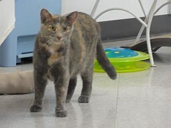 Domestic Shorthair Cat for adoption in Freeport, Illinois - Cookie