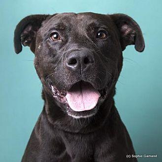 Pit Bull Terrier/Labrador Retriever Mix Dog for adoption in Anniston, Alabama - Kayden