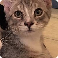 Adopt A Pet :: Hobbes - Jackson, NJ