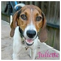 Treeing Walker Coonhound Dog for adoption in Newnan, Georgia - Juliette