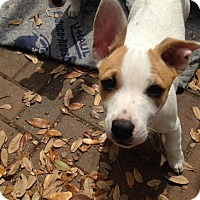 Chihuahua/American Bulldog Mix Puppy for adoption in Jacksonville, Florida - Joey Tribbiani & the Chewables