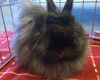 Jersey Wooly for adoption in Seattle c/o Kingston 98346/ Washington State, Washington - Harmony