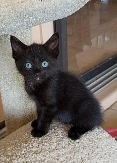 Domestic Shorthair Kitten for adoption in Boynton Beach, Florida - Jetta