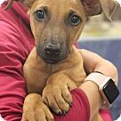 Adopt A Pet :: Amira