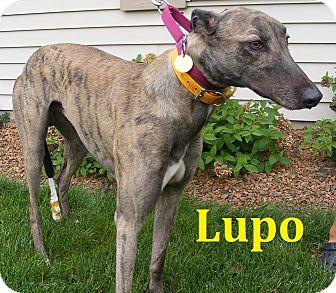 Greyhound Dog for adoption in Fremont, Ohio - Lupo