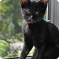 Adopt A Pet :: William - Xenia, OH