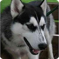 Adopt A Pet :: Buddy is Cuddly! - Belleville, MI