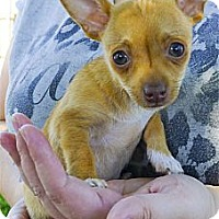 Adopt A Pet :: Sammie 2 pounds, not a yipper - Sacramento, CA