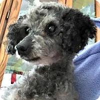 Adopt A Pet :: Milo - Essex Junction, VT