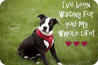 American Staffordshire Terrier Mix Dog for adoption in La Crosse, Wisconsin - Jasmine