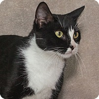 Domestic Shorthair Cat for adoption in Elmwood Park, New Jersey - Eloise