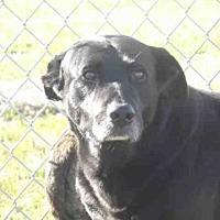 Labrador Retriever Dog for adoption in Rogers, Arkansas - GOODWIN