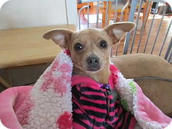 Chihuahua/Dachshund Mix Dog for adoption in Baltimore, Maryland - Sweet Pea
