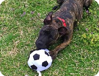 Staffordshire Bull Terrier Mix Puppy for adoption in Richardson, Texas - Sissy Lou