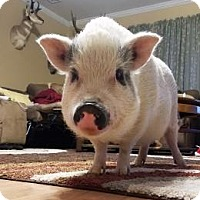 Pig (Farm) for adoption in Apple Valley, California - Pink #164671