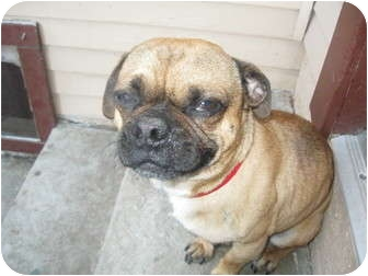 Pug Dog for adoption in Inglewood, California - Tallahassee