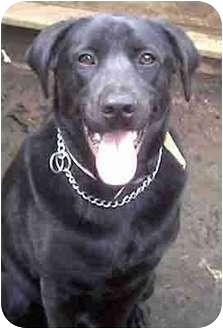 Labrador Retriever Mix Dog for adoption in Forest Hills, New York - Keith