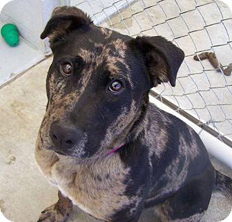 Catahoula Leopard Dog/Rottweiler Mix Puppy for adoption in Grants Pass, Oregon - Marnie