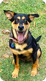 German Shepherd Dog/Doberman Pinscher Mix Dog for adoption in Miami, Florida - Charlie