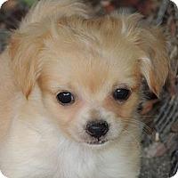 Adopt A Pet :: Tiny Lulu - La Habra Heights, CA