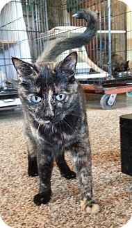 Domestic Shorthair Cat for adoption in Redding, California - Streak