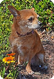 Chihuahua Mix Dog for adoption in San Jose, California - Sadie